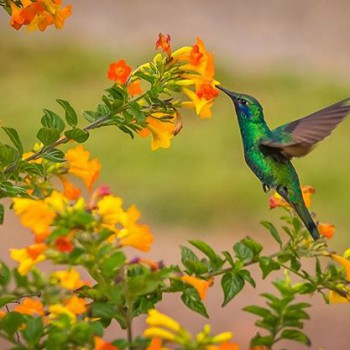The Hummingbird does its part
