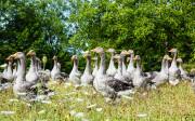 Geese at La Rhonie
