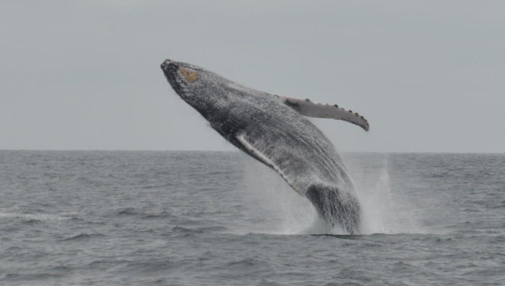 Baleine à bosse, cote pacifique, isla de la plata, Équateur