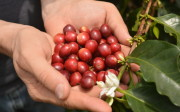 Poignée de cerises de café