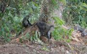 Monkeys in the Forest, Man Region