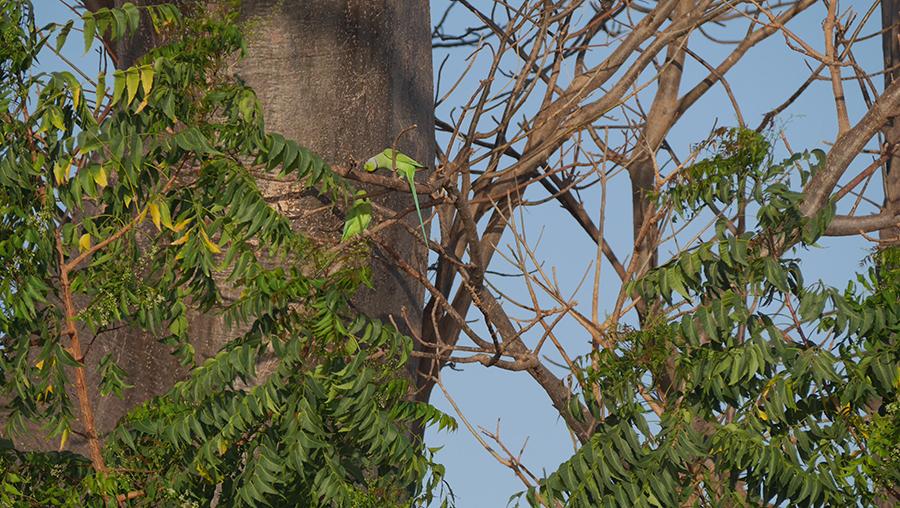perruches nature campement niombato sénégal